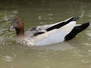 Male Australian Wood Duck (Slimbridge June 2011)